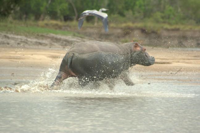 rennende nijlpaard