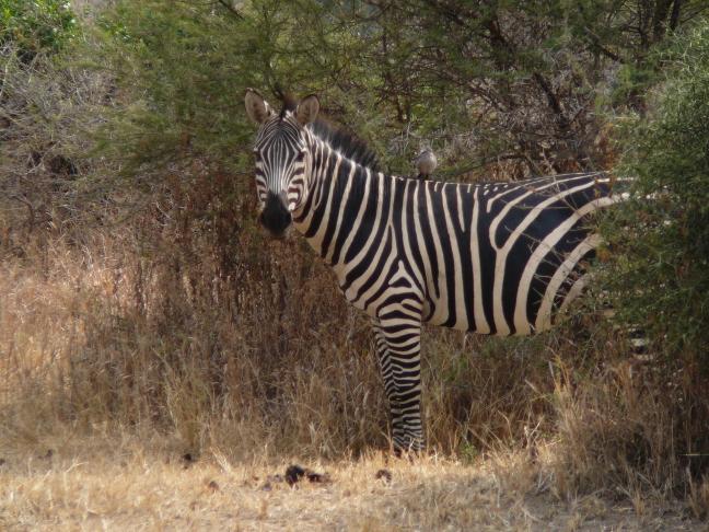 Zebra poseert voor foto