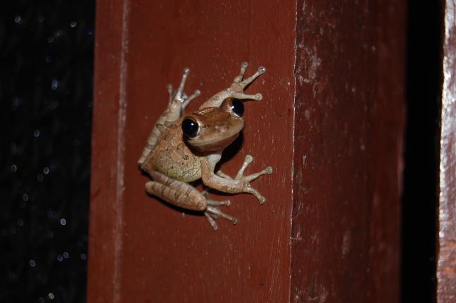 Kikkertje in de badkamer, Peninsula de Zapata, Guama