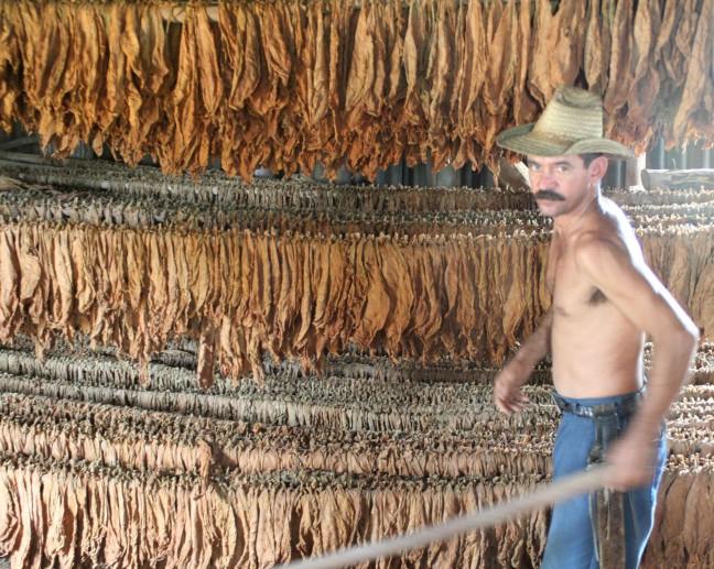 Tabaksplantage