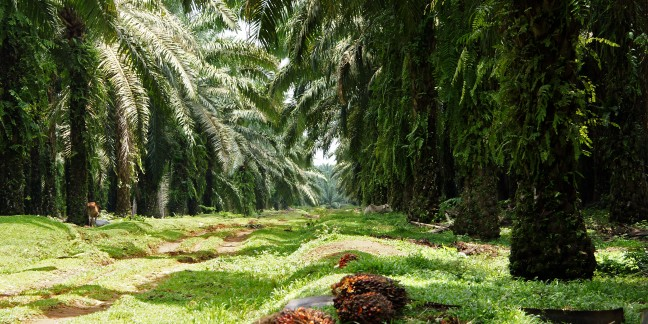 All about palm oil