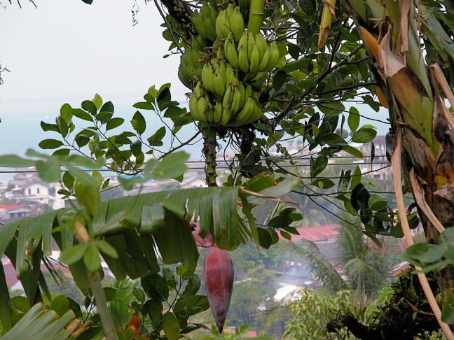 Wilde bananen
