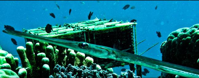 trumphetfish