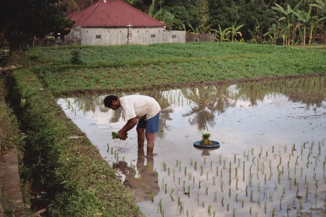planten van rijstplantjes
