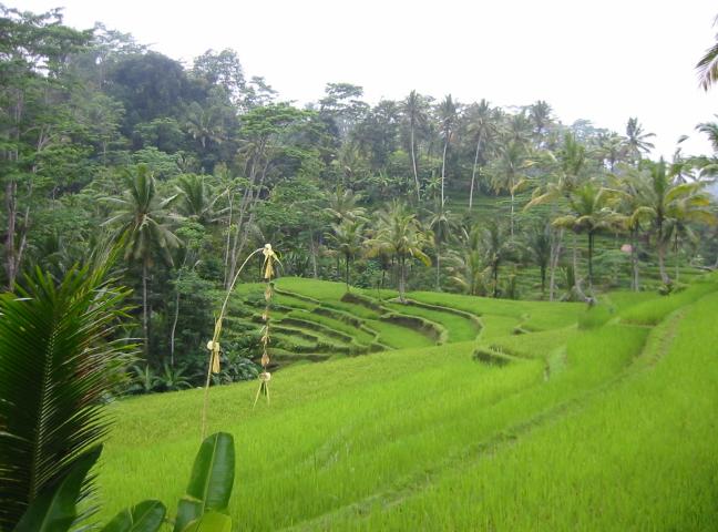Rijstterassen