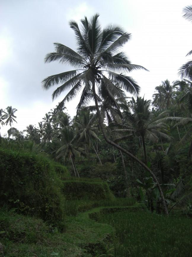 Palmboom in de rijstvelden