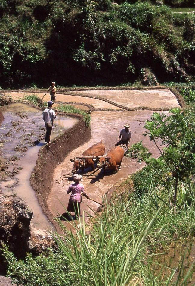 Ploegen op een sawa