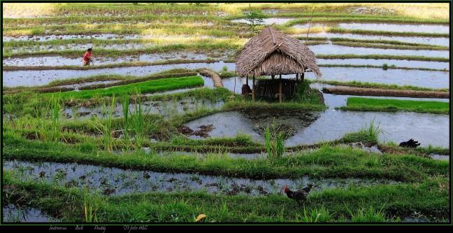 rijstgodin dewi sri