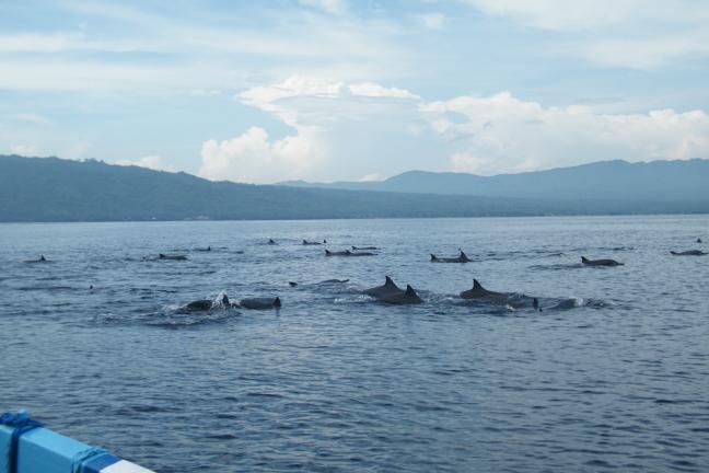 dolfijnen bij Lovina
