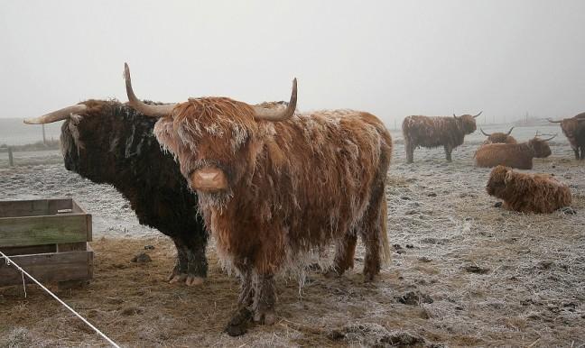 de Schotse Hooglander