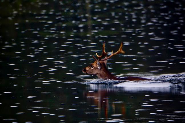Zwemmend hert in de regen