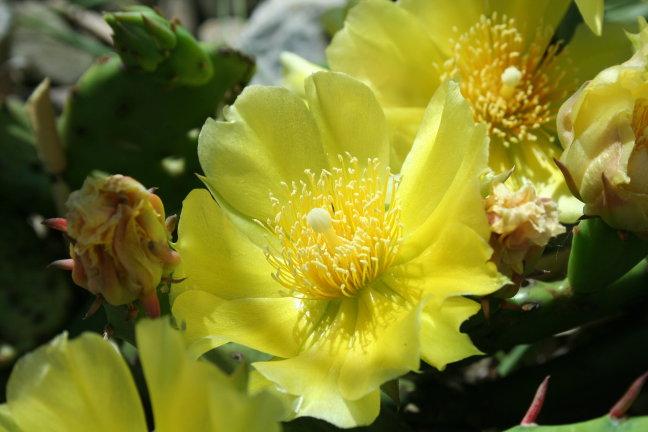 Opuntia , cactus