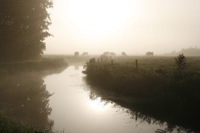 koeien ''in the mist'