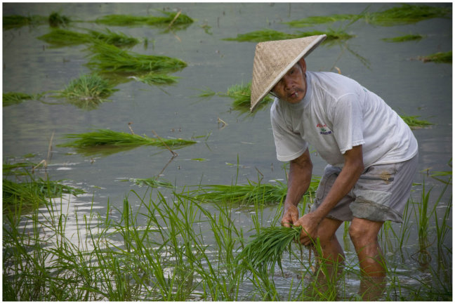 Smoking in the Ricefield